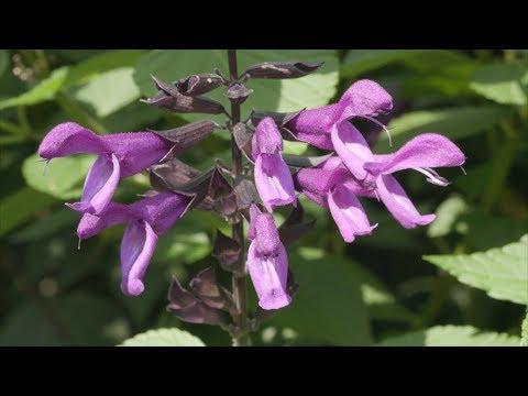 Fall Salvia