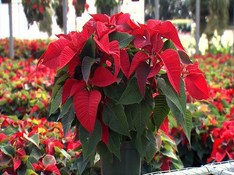 Christmas Poinsettias