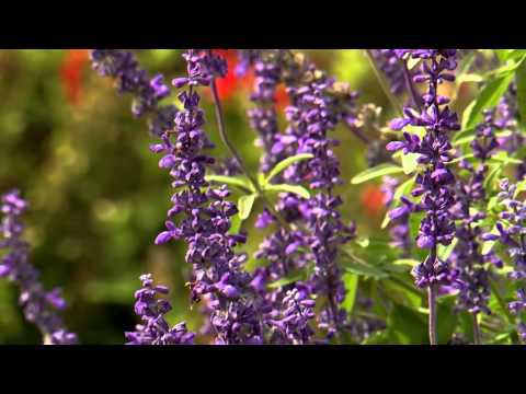Fall Salvia - Southern Gardening TV - November 13, 2013