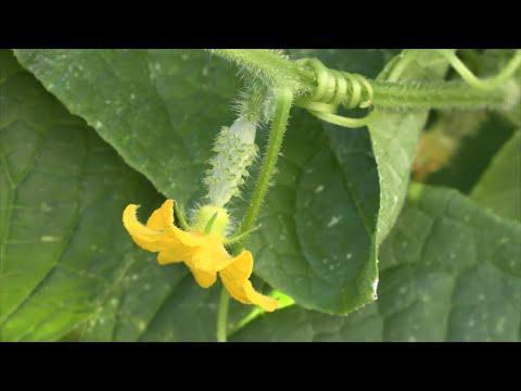 Growing Pickles
