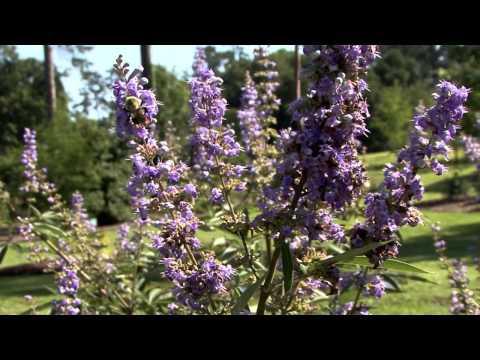 Vitex  - Southern Gardening TV - July 6, 2014