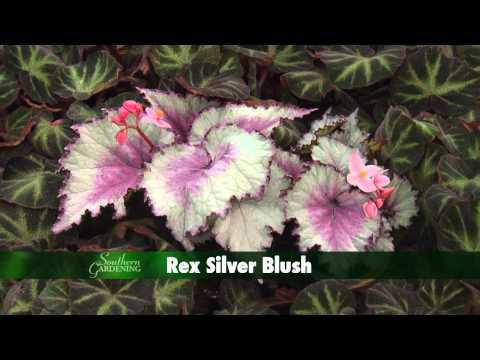 Holiday Rex Begonia, Southern Gardening TV - November 28, 2012