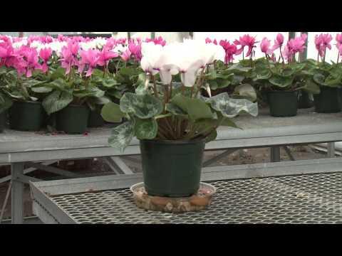 Cyclamen - Southern Gardening TV - February 27, 2013