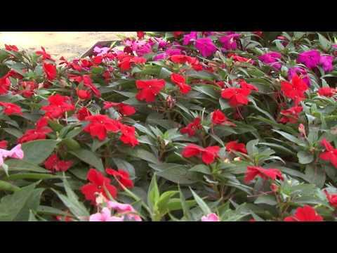 Sunpatiens - Southern Gardening TV - August 28, 2013