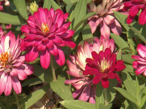 Zahara Zinnia - Southern Gardening TV - August 31, 2014