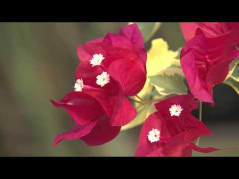 Bouganvillea, Southern Gardening TV, November 14, 2012