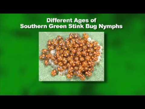 Stink Bug Control - MSU Extension Service