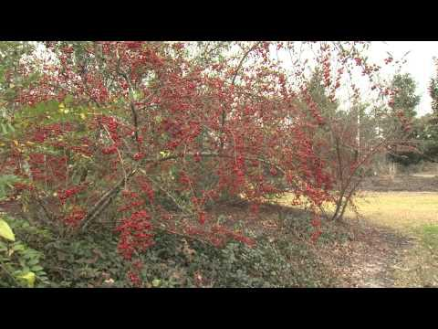 Pyracantha - Southern Gardening TV - February 13, 2013
