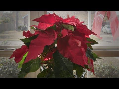 Poinsettia Revival