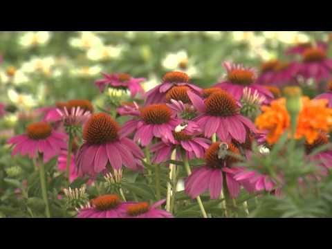 Purple Coneflowers  - Southern Gardening TV - June 15, 2014