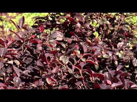 Southern Gardening TV - March 6, 2013 - Loropetalum
