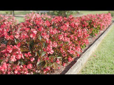 Whopper Begonias