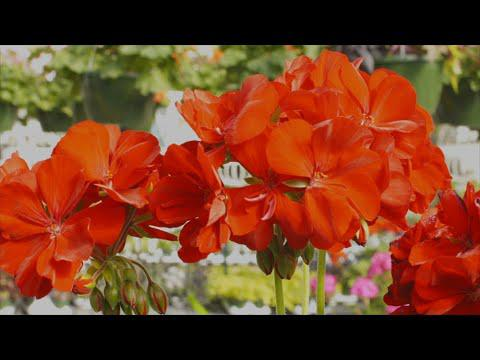 Red Summer Flowers