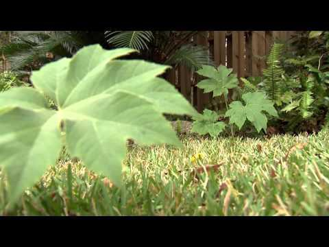 Rice Paper Plant - Southern Gardening TV, January 16, 2013