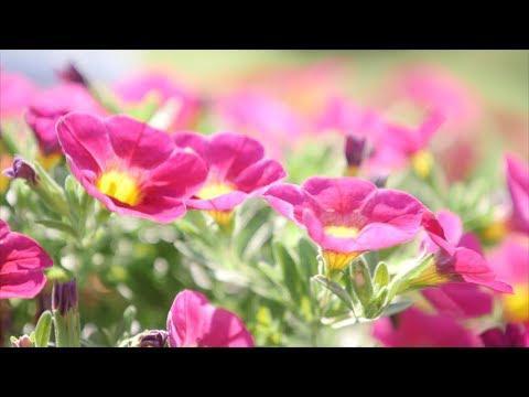 Calibrachoa Color