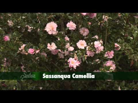 Camellias - Southern Gardening TV - February 6, 2013