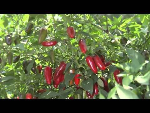 Ornamental Peppers, Southern Gardening, Sept. 12, 2012