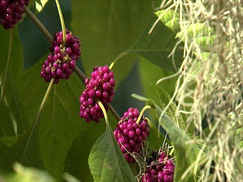 Beautyberry  - Southern Gardening TV - July 20, 2014