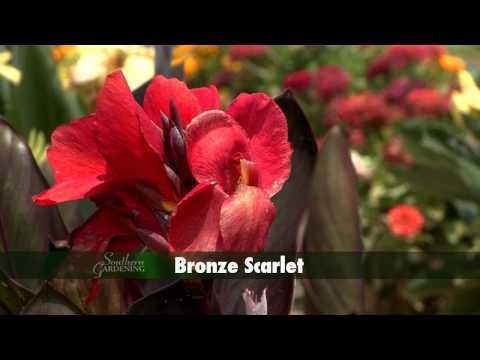 Dwarf Canna - Southern Gardening TV - August 17, 2014