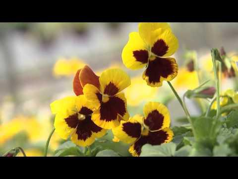 Pansies - Southern Gardening TV - October 9, 2013