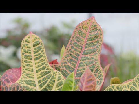 Colorful Crotons