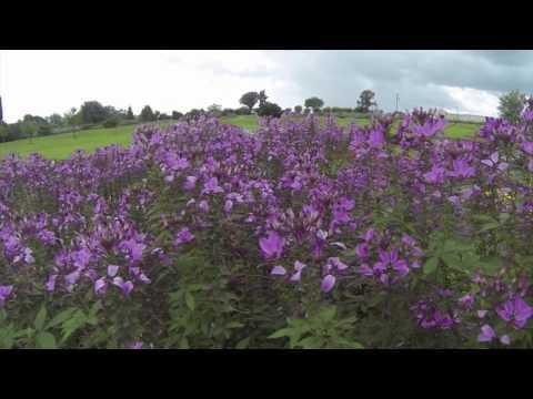 Cleome  - Southern Gardening TV - June 22, 2014