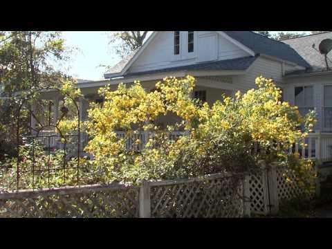 Winter Cassia - Southern Gardening - January 1, 2014