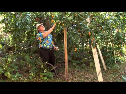 Satsuma Orange Sequence, Southern Gardening TV - Jan. 9, 2013