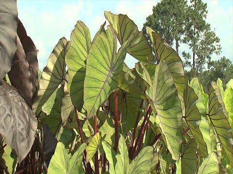 Elephant Ears - Southern Gardening TV - August 10, 2014