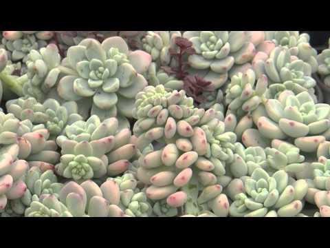 Sedums - Southern Gardening TV - February 20, 2013