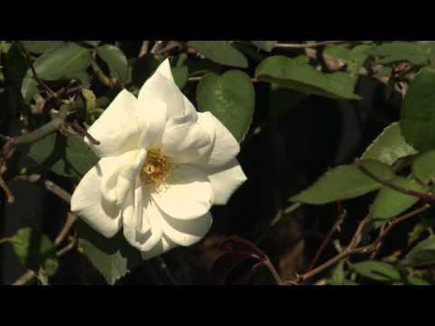 Old Garden Roses  - Gardening Through the Seasons