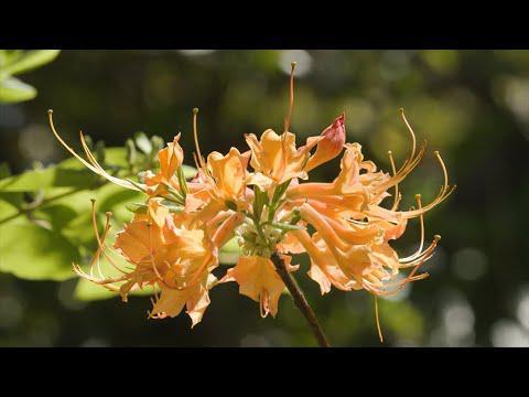 Native Flowering Shrubs