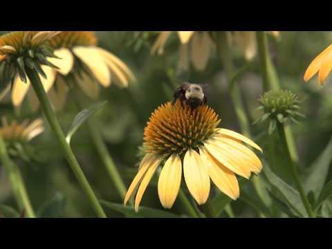 Bumblebees Sequence, Southern Gardening TV - January 30, 2013