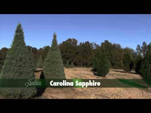 Christmas Tree Farms - Southern Gardening TV - December 4, 2013