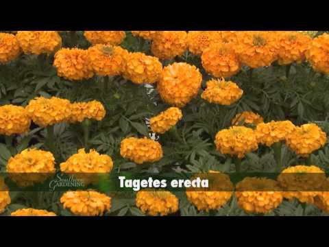 Marigolds - Southern Gardening TV - April 27, 2014