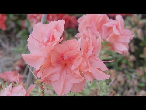 Azaleas to Camellias