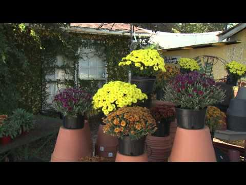 Fall Mums - Southern Gardening TV - October 16, 2013