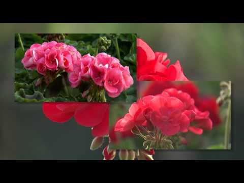 Zonal Geraniums, Southern Gardening TV, March 30, 2014
