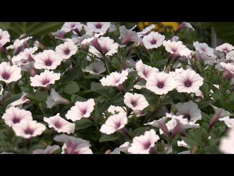 Southern Gardening TV - April 10, 2013 - Supertunias