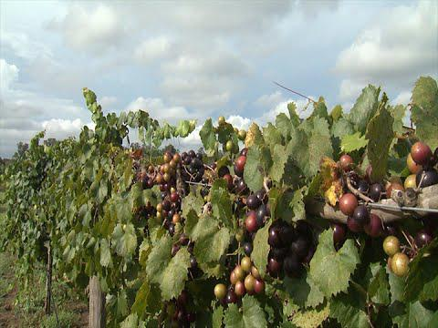 Muscadines - Southern Gardening TV August 24, 2014