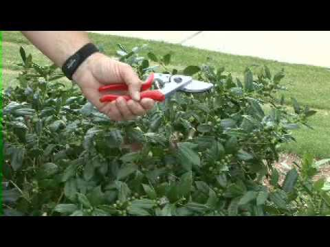 Selective Pruning - MSU Extension Service