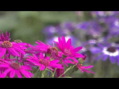 Southern Gardening TV - March 20, 2013 - Senetti Pericallis
