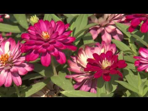 Zahara Zinnia - Southern Gardening TV - July 31, 2013