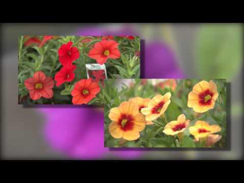 Calibrachoa - Southern Gardening TV, April 20, 2014