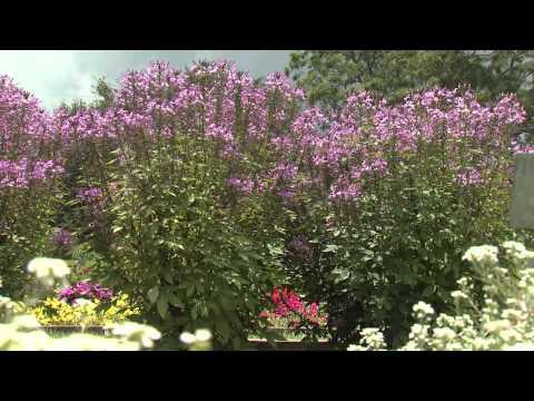Cleome - Southern Gardening TV - July 3, 2013