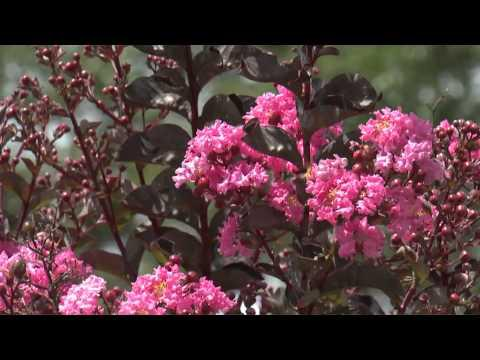 Crape Myrtle, Southern Gardening, Sept. 19, 2012