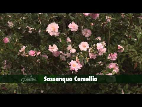 Camellias - Southern Gardening TV - December 25, 2013