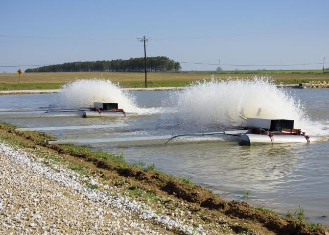 Intensively managed and split-cell catfish ponds are stocked at much higher rates and require more aeration to supply sufficient oxygen. These aerators were running on a Noxubee County, Mississippi, catfish farm on March 21, 2017. (Photo by MSU Extension Service/Kat Lawrence)