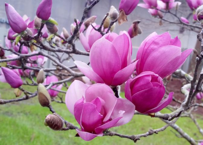 saucer magnolia blooms herald arrival of spring. Black Bedroom Furniture Sets. Home Design Ideas
