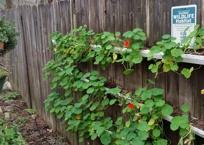 These nasturtiums growing in containers in full sun began blooming Feb. 28. By the end of March, they will be a wall of flowers. (Photo by MSU Extension/Gary Bachman)